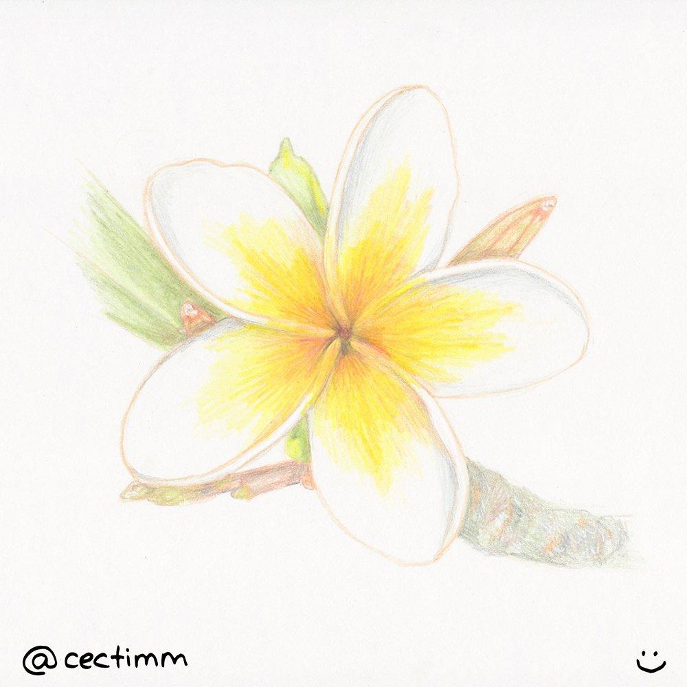 cectimm 2015 02 12 frangipani